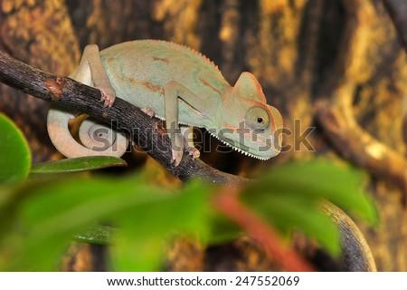 young ceylon chamelen - stock photo