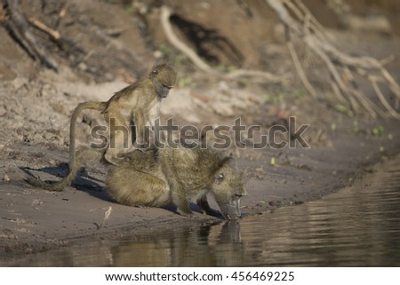 Young Chacma Baboon on mothers back while she is drinking in the Chobe River in Kasane Botswana - stock photo