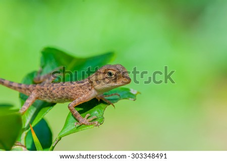 Young Chameleon  Asian, Iguana or Reptile on a background of nature. - stock photo