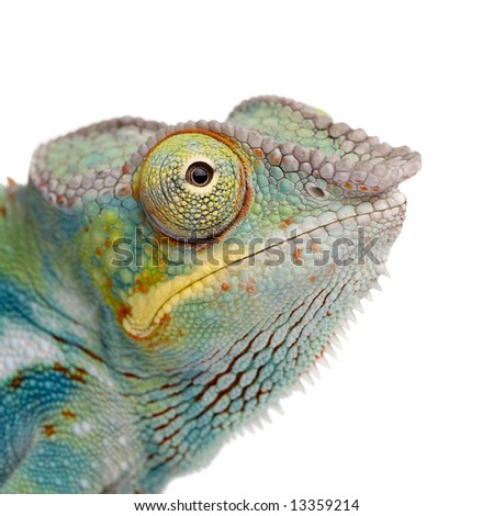Young Chameleon Furcifer Pardalis - Ankify (8 months) in front of a white background - stock photo