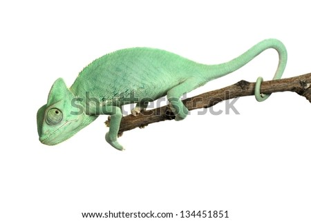 Young chameleon isolated on white - stock photo