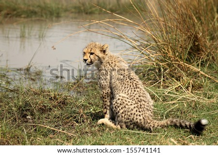 Young Cheetah cub sitting at edge of water - stock photo