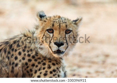 Young cheetah in Okonjima Nature Reserve, Namibia. Shallow depth of field with room for text. - stock photo