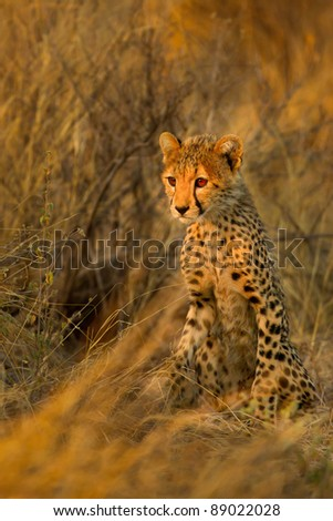 Young cheetah in warm morning light - stock photo