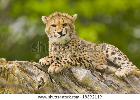 Young cheetah making faces - stock photo