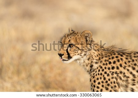 Young cheetah on the lookout in Etosha National Park, Namibia. Shallow depth of field with room for text. - stock photo