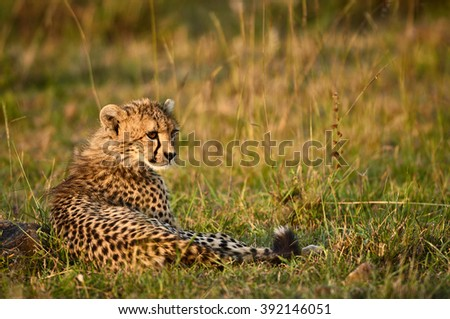 Young Cheetah resting in the African savanna