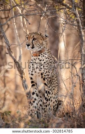 young cheetah sat in the bush at kruger national park - stock photo
