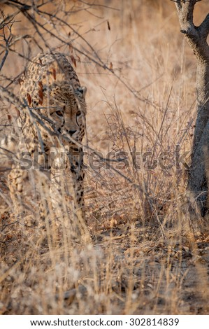 Young cheetah stalking through the bush at kruger national park - stock photo