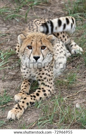 Young cheetah wild cat with long legs and beautiful fur - stock photo