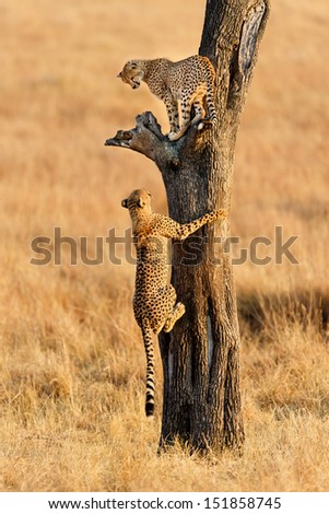 Young Cheetahs climbing in a dry tree, Mother: Narasha, Masai Mara, Kenya - stock photo