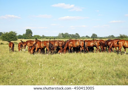 Young chestnut foals and mares eating gras on meadow against blue sky background summertime rural scene   - stock photo