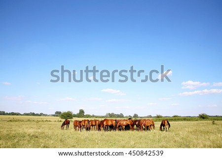 Young chestnut foals and mares grazing peaceful at typical hungarian countryside puszta summertime. Thoroughbred gidran foals and mares grazing peaceful together on summer meadow - stock photo