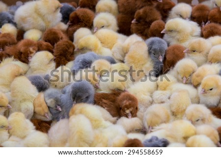 Young chicks for sale at the outdoor live animal market in Otavalo, Ecuador 2015. - stock photo