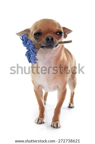 young chihuahua and flower in front of white background - stock photo