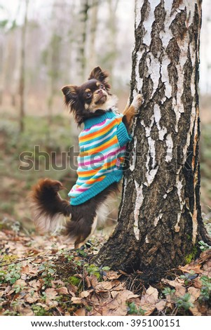 Young Chihuahua dog in a knitted sweater standing by the birch tree in the forest - stock photo