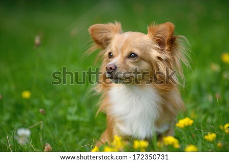 young chihuahua dog in meadow - stock photo