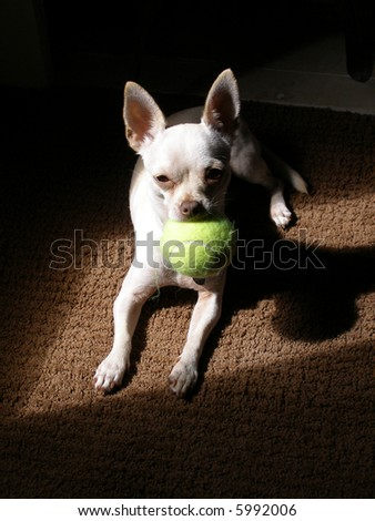 Young chihuahua with tennis ball. - stock photo