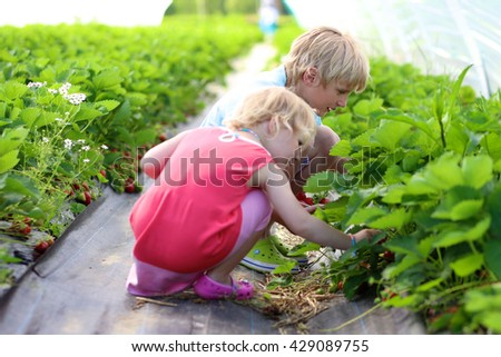 Young children picking strawberries in the farm. Toddler girl and her brother harvesting healthy berries in the garden. Healthy bio food concept. Leisure activity for family with kids - stock photo