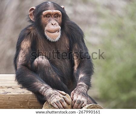 Young Chimpanzee - stock photo