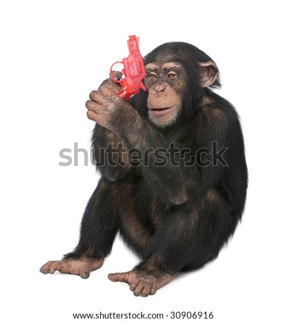 Young Chimpanzee playing with a gun  - Simia troglodytes (5 years old) in front of a white background - stock photo