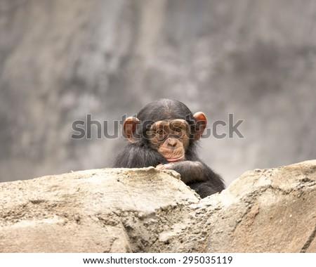 Young Chimpanzee portrait - stock photo