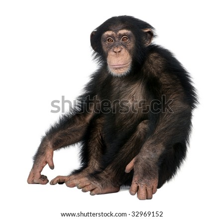 Young Chimpanzee - Simia troglodytes (5 years old) in front of a white background - stock photo