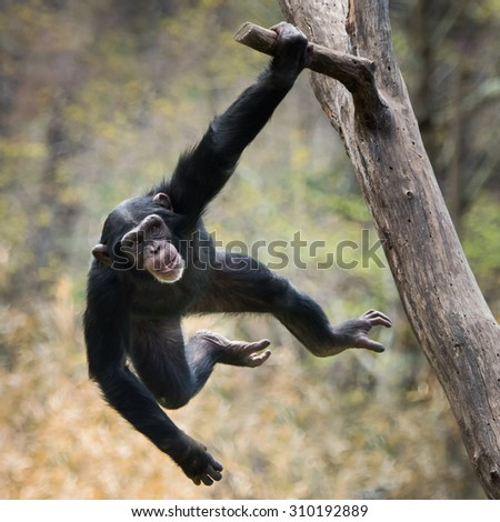 Young Chimpanzee Swinging on a Tree Branch - stock photo