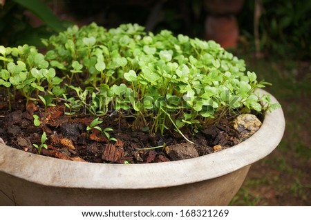 young Chinese Broccoli plant in enamelware - stock photo