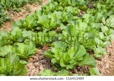 young chinese cabbage in the field - stock photo
