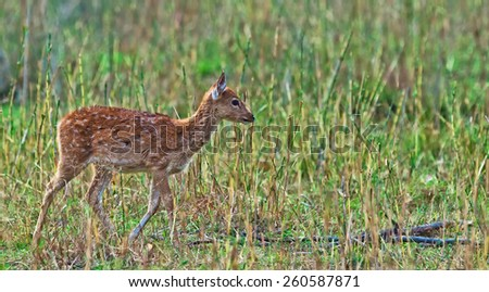 Young chital or cheetal deer (Axis axis), also known as spotted deer or axis deer in the Bandhavgarh National Park in India. Bandhavgarh is located in Madhya Pradesh. - stock photo