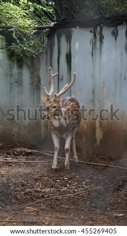 Young chital or cheetal deer (Axis axis), also known as spotted deer or axis deer in zoo - stock photo