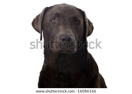Young Chocolate Labrador Retreiver against a White Background