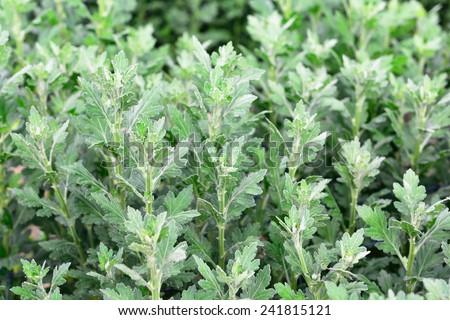 Young Chrysanthemum plant - stock photo