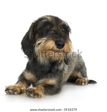 young Coarse haired Dachshund in front of a white background - stock photo