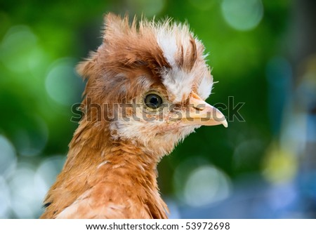 Young cock - stock photo