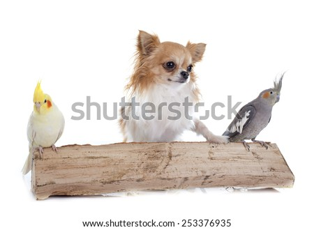 young Cockatiel and chihuahua in front of white background - stock photo