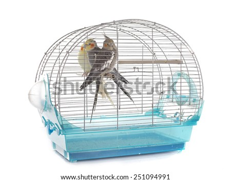young Cockatiel in cage in front of white background - stock photo