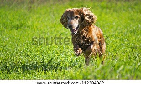 Young cocker spaniel on a green lawn - stock photo