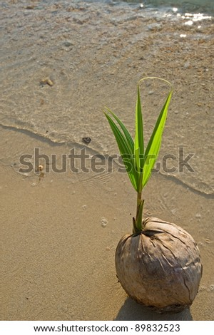 Young coconut tree on the beach - stock photo