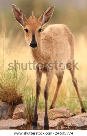 Young Common Duiker Female (Sylvicapra grimmia) - stock photo