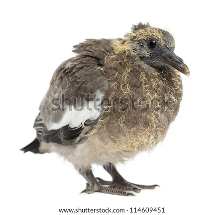 Young Common Wood Pigeon, Columba palumbus against white background