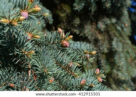 Young cones on a spruce tree