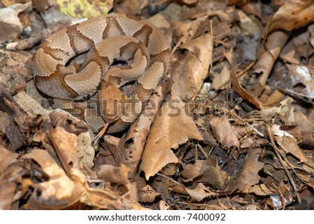 Young copperhead snakes can be difficult to see in the leaf litter. - stock photo