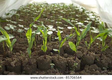 young corn and watermelon  plant in the nursery - stock photo