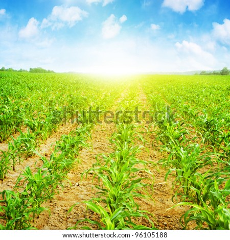 Young corn field,blue sky and sunlight. - stock photo