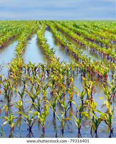 Young corn field flooded with damage from water very shallow depth of field - stock photo