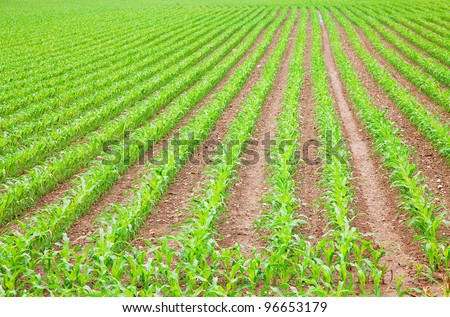Young corn field on the farm