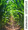 Young corn field row - stock photo