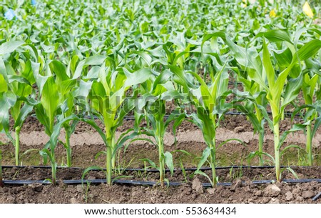 young corn field with drip irrigation system in farm